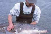 Sturgeon protection and re-population is but one of many project being implemented locally.