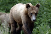 Surrounded by forests and creeks, New Denver is a prime place for bears.