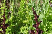 Lettuce seed growing in Rossland