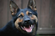 Just in time for Women's Day, sole female cop dog breaks glass ceiling and makes first arrest