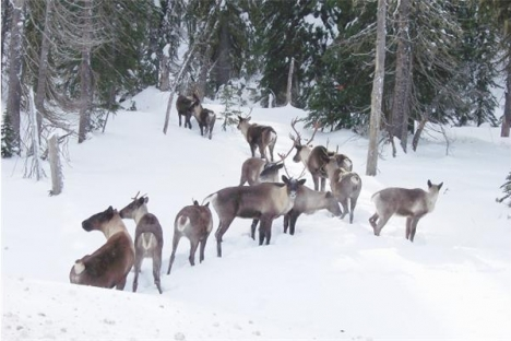 Court ruling that the federal government broke the law by not posting recovery plans for four species at risk may help the endangered southern mountain caribou in the Kootenays.